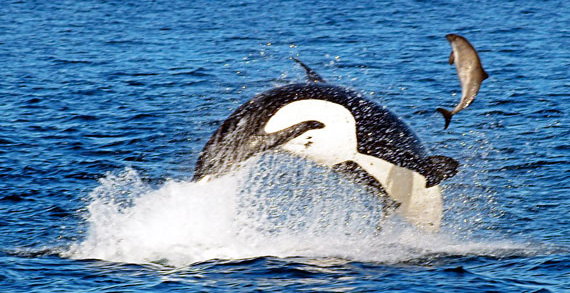 Orca killer whale chasing a salmon right out of the water