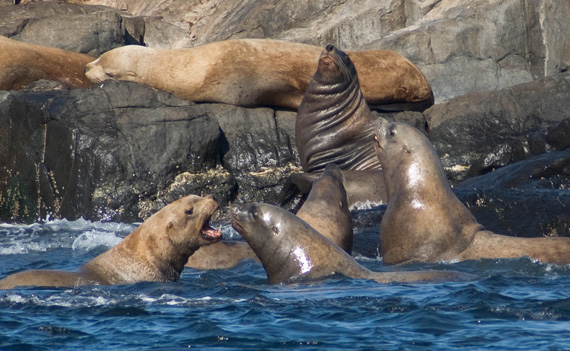 Stellar Sea Lions at Race Rocks Marine Protected area